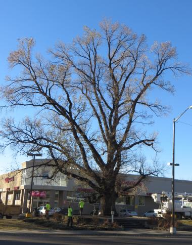 Grant Recipient, Historic Preservation Category: Namaqua Chapter, NSDAR, Loveland, Colo. Namaqua Chapter, NSDAR, worked with the professional arborists to spray the historic Washington Elm Tree to combat its fungus condition and bug problems. The tree also underwent an intensive, whole-tree trimming to remove dead and unhealthy tree limbs as well as fertilization and elm scale treatments. With proper care, the 83-year-old tree will continue to thrive as a living historical landmark.